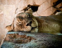 A lionness sleeps at the San Diego zoo.